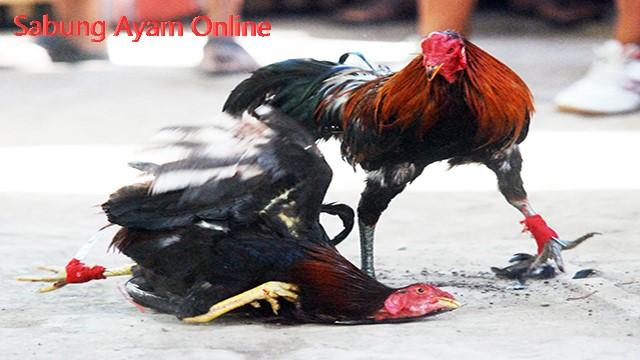 Permainan Laga Ayam Pukul Mati Online Uang Asli